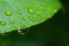 Water droplets on a green leaf Royalty Free Stock Photo