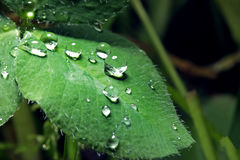 Water droplets on a green leaf in garden spring summer sun shine Royalty Free Stock Photography