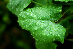Water droplets on a green leaf Royalty Free Stock Images