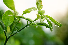 Water droplets on a green leaf Stock Photo