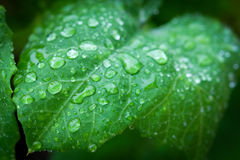 Water droplets on a green leaf Stock Photos