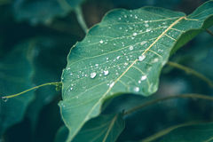 Water droplets on the green leaf Royalty Free Stock Photography
