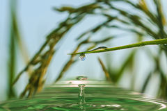 Water droplets from green leaves of Grass Royalty Free Stock Photo