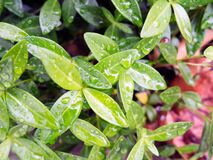 Water Droplets on Green Plant Leaves Stock Photo