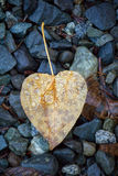 Water droplets on a heart shaped aspen leaf laying on gravel. Water droplets remain on a heart shaped aspen leaf laying on dark gravel driveway Stock Images