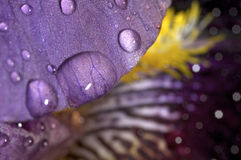 Water droplets on an iris. In spring Stock Image