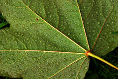 Water droplets on leaf. A leaf early morning after a heavy mist is covered in water droplets Stock Photo