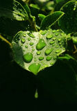 Water droplets on leaf Royalty Free Stock Image