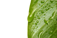 Water droplets on leaf. Macro of water droplets on leaf, with shallow depth of field and focus on large drop stock photo