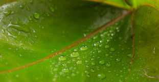 Water droplets on a leaf Royalty Free Stock Image