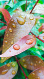 Water droplets on the leave. Macro water drops on green plant leaf for natural background Royalty Free Stock Photo