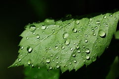 Water droplets on the leaves Stock Photo