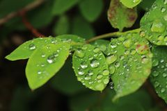 Water Droplets on Leaves. Dewy droplets on green leaves Stock Photo