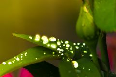 Water droplets on leaves, in garden royalty free stock photos