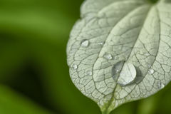 Water droplets on leaves. In park Royalty Free Stock Image