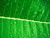 Water droplets on leaves after rain. Royalty Free Stock Photography