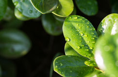 Water droplets on leaves Royalty Free Stock Image