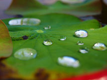 Water Droplets. Droplets on a lily pad Royalty Free Stock Images