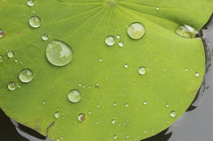 Water droplets Lotus leaf Royalty Free Stock Photos
