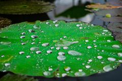 Water droplets on Lotus leaf Royalty Free Stock Images