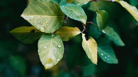 Water droplets on lush green leaves after the rain
