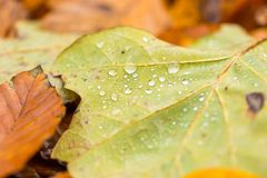Water droplets lying on autumnal fallen leaf Royalty Free Stock Image