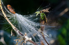 Water Droplets on a Milkweed Seed Stock Image