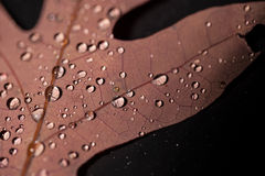 Water Droplets on Oak Leaf Royalty Free Stock Photography