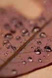 Water Droplets on Oak Leaf. A macro image of water droplets on an oak leaf; vertical image Stock Image