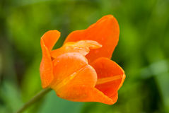 water droplets on an orange tulip blossom Royalty Free Stock Images