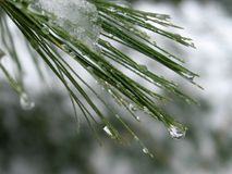 Water droplets on Pine Needles: Royalty Free Stock Photo