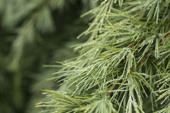 Water Droplets on a Pine Tree. Droplets from a recent rain decorate a pine Royalty Free Stock Images