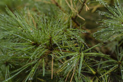 Water Droplets on a Pine Tree. Droplets from a recent rain decorate a pine Stock Images
