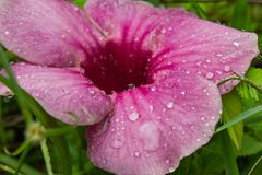 Water droplets on the pink flowers or Hibiscus syriacus. Water droplets on the pink flowers or Hibiscus syriacus in the lawn royalty free stock image