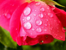 Water droplets on pink rose Royalty Free Stock Photo