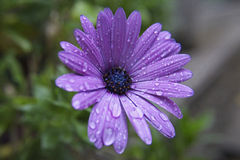 Water droplets on purple flower Royalty Free Stock Photos