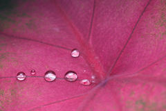 Water Droplets on Red Leaf Royalty Free Stock Images