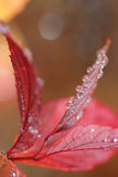 Water Droplets on Red Leaves Stock Image