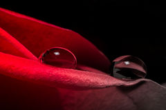 Water droplets on a red scarlet rose petals close-up texture background Royalty Free Stock Photography