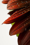 Water droplets on a red sunflower stock images