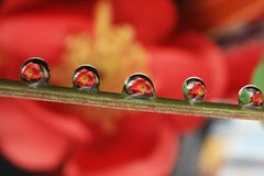 Water droplets. Reflextion red flower close up macro photography beauty nature natural garden plants flower royalty free stock image