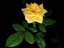 Water droplets on a rose. Water droplets on a yellow rose in the garden at night Royalty Free Stock Photography