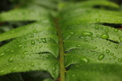 Water Droplets on Sword Fern Royalty Free Stock Images