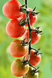 Water Droplets on Tomato Plant Stock Photo