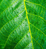 Water droplets on a walnut leaf. Close up of water droplets on a walnut leaf Royalty Free Stock Photos