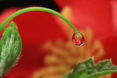 Water droplets. Reflextion red flower close up macro photography beauty nature natural garden plants flower stock photo