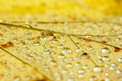 Water droplets on a yellow leaf Stock Images