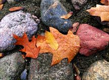 Water dropped autumn leaves on rocks Stock Image