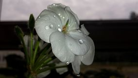 A water dropped flower. A white flower still wet after watering, in mid Summer, England Stock Photos
