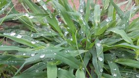 Water dropped grass. Rain drops royalty free stock photo